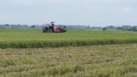 Thanh Hóa khẩn trương thu hoạch lúa, hoa màu trước bão số 7