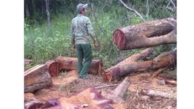 Lâm tặc chặt hạ 26 cây gỗ hương tại khu bảo tồn thiên nhiên Ea Sô