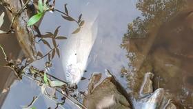 Cá chết hàng loạt vì trang trại heo xả thải