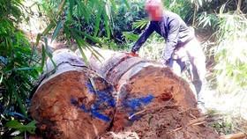 """Vụ đột nhập """"công trường"""" gỗ lậu: Truy tìm người và phương tiện khai thác 7,6m³ gỗ vô chủ"""