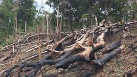 Cận cảnh rừng Kon Plông bị phá nát