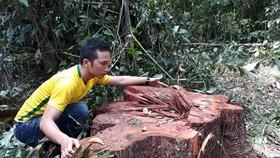 """Phát hiện 14 cây cổ thụ bị """"xẻ thịt"""" gần trạm kiểm soát cửa rừng"""