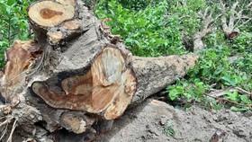 Một cây gỗ giáng hương bị cưa hạ