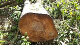 Truy tìm đối tượng trồng keo trên 1,7 ha rừng bị chặt phá