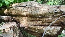 Chở gỗ lậu, một người bị gỗ đè chết