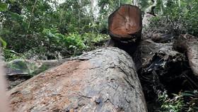 Khởi tố vụ cưa hạ gỗ giáng hương cổ thụ ở Gia Lai