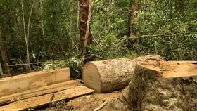 Khởi tố 3 nhân viên bảo vệ rừng tham gia cưa hạ gỗ trái phép trong khu bảo tồn thiên nhiên
