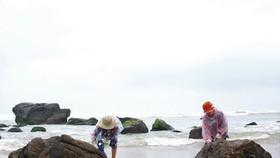 Đa số người dân Nam Ô vào mùa mưa đều đi hái rong biển