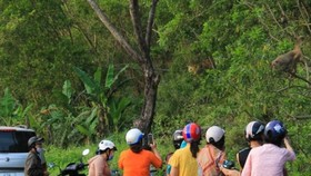 Không cho khỉ ăn để bảo vệ đàn khỉ trên bán đảo Sơn Trà