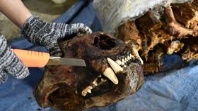 Đà Nẵng bắt giữ container chứa sừng tê giác và xương động vật từ Nam Phi