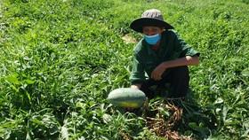 Hàng trăm tấn dưa hấu Hòa Bắc (huyện Hòa Vang, TP Đà Nẵng) đã và sắp đến ngày thu hoạch gặp khó đầu ra