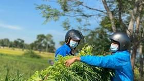 Thành Đoàn Đà Nẵng hỗ trợ người dân thu hoạch rau