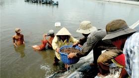 Thu hoạch tôm nuôi tại TPHCM. Ảnh: CAO THẮNG