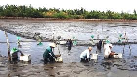 """Người dân thu hoạch tôm """"trả công lẫn nhau"""" ở vùng sâu huyện Vĩnh Thuận (Kiên Giang),  qua đó thắt chặt tình làng nghĩa xóm"""