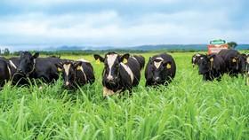 Đàn bò sữa trong trang trại của NutiMilk