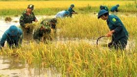 Bộ đội và lực lượng dân quân tự vệ giúp dân thu hoạch lúa bị ngập úng ở huyện Trần Văn Thời, Cà Mau