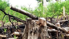 Những cây rừng tự nhiên thuộc khu vực rừng phòng hộ sông Trà Bương có đường kính từ 50 đến 70cm bị cắt hạ nằm trơ gốc
