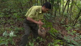 Lực lượng chức năng thả tê tê Java về rừng.