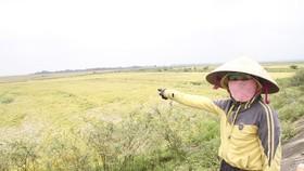 Tranh thủ nắng ráo nông dân tất bật thu hoạch lúa bị ngã đổ