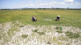 Ruộng lúa của ông Ngô Văn Đàn trong tình trạng khô hạn nặng