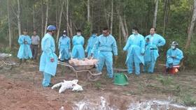 Quảng Trị tiêu hủy đàn heo bị dịch tả heo châu Phi