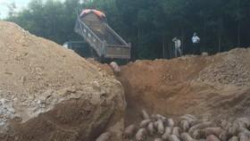 Quảng Trị: Tiêu hủy gần 1.000 con heo nhập khẩu bị nhiễm dịch tả heo Châu Phi