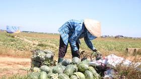 Trồng dưa hấu trên đất lúa mùa khô hạn cho thu nhập cao