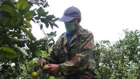 Nông dân Quảng Trị tìm đầu ra cho trái cam