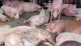 Hậu Giang: Một hộ nuôi phải tiêu hủy đàn heo 1.200 con mắc dịch tả heo châu Phi