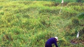 Nông dân Hậu Giang dọn rãnh để nước rút, hy vọng lúa bị ngã không bị lên mọng