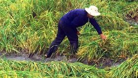 Hậu Giang: Gần 10.000ha lúa, cây ăn trái thiệt hại do mưa lũ