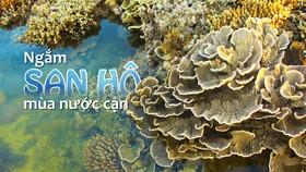 Ngắm san hô mùa nước cạn ở Quảng Ngãi