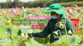 Nông dân dầm mình dưới bùn thu hoạch sen