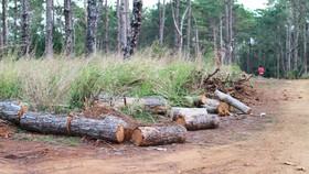 Gỗ thông bị khai thác ở rừng cộng đồng bon Bu Koh