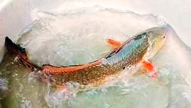 """Bắt được cá """"lạ"""" nghi sủ vàng đẹp """"như tranh"""""""