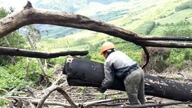 Hiện trường vụ phá rừng ở tiểu khu 235. Ảnh: NGỌC OAI