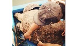 Thả một cá thể rùa xanh nặng 120kg về biển