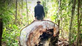 Quảng Ngãi: Nhiều cây gỗ trong rừng phòng hộ bị chặt phá