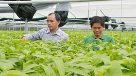 Mô hình trồng rau thủy canh giúp tiết kiệm đất và diện tích, lại cách ly được với nguồn sâu bệnh và nước ô nhiễm