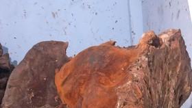 Phát hiện nấm khổng lồ nặng 70 ký nghi là nấm linh chi chân voi