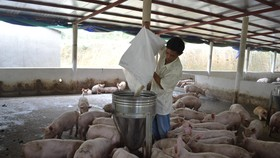 Tỉnh Quảng Nam có hơn 80 trang trại chăn nuôi heo nên nguy cơ xảy ra dịch bệnh trên diện rộng rất cao