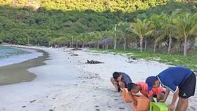 Hơn 1.500 trứng rùa Côn Đảo ấp nở thành công tại Cù Lao Chàm