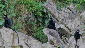 Đàn Voọc đen má trắng ở xã Thạch Hóa