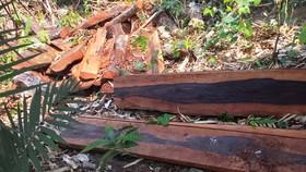 Gỗ mun bị chặt hạ tại rừng PNKB.