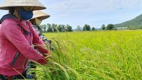 Bà Hiền và người thân lo lắng vì tình trạng lúa sinh trưởng cao nhưng hạt thì lép. Ảnh: MINH PHONG