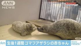 Hải cẩu con được sinh ra phủ đầy lông trắng, khác xa bố mẹ
