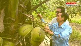 Ghé Trà Vinh thưởng thức dừa sáp thứ thiệt ngay tại vườn