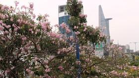 Hoa kèn hồng khoe sắc trên đại lộ
