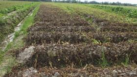 Kẻ xấu phun thuốc khiến nhiều ruộng khoai của nông dân bị thiệt hại