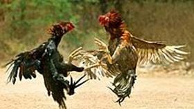 Giết người vì nợ tiền đá gà